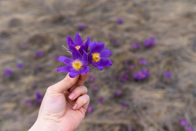 Fleur de printemps, herbe violette, gros plan