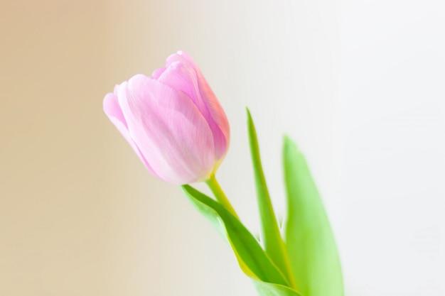 Fleur de printemps, tulipe rose sur un fond doux. carte de voeux de pâques ou saint valentin.