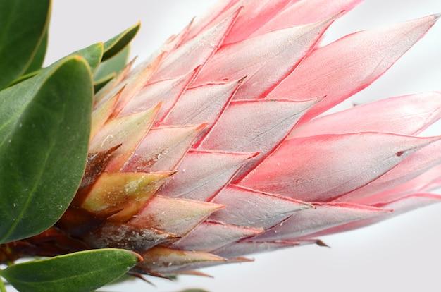 Fleur protea rouge sur fond blanc