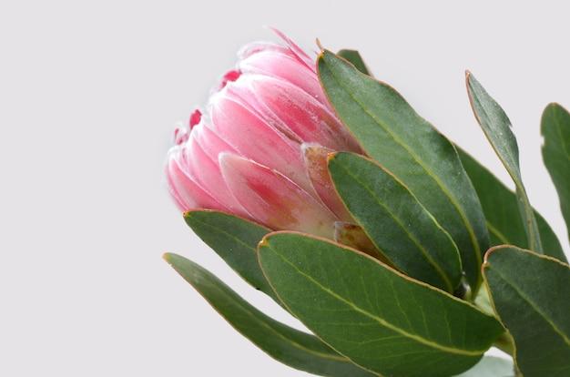 Fleur de protea rouge isolé sur fond blanc