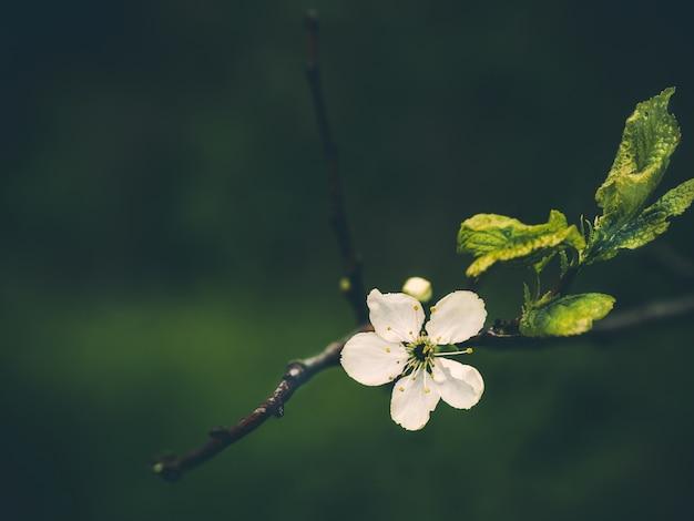 Une fleur de prunier sur fond de soirée. fond de soirée d'été. arbre de printemps