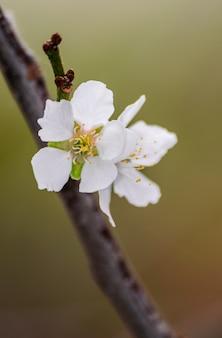 Fleur de prunier (prunus domestica), qui fleurit dans une branche d'arbre