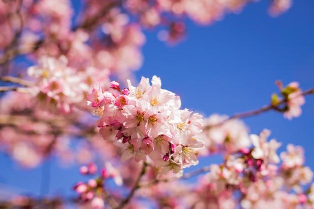 Fleur de prunier rose. branches de prunes de fleurs contre le ciel bleu. fleurs de printemps roses.