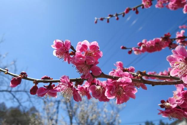 Fleur de prunier rose, fin de l'hiver, avec fond de ciel bleu.