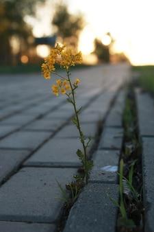 Fleur qui pousse à travers le pavé gris au coucher du soleil