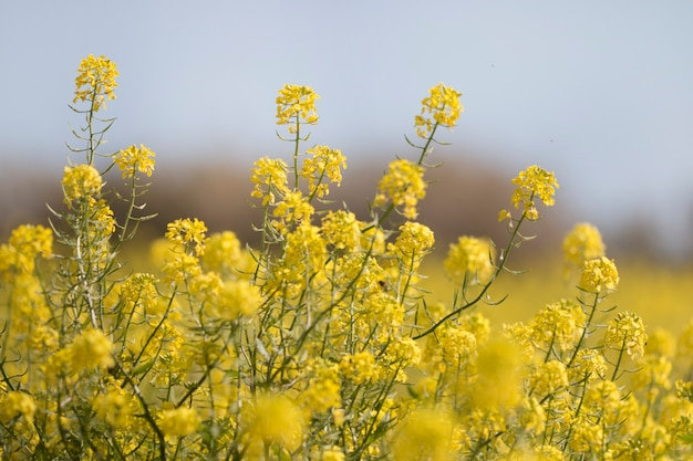 Fleur de rapase (brassica napus)