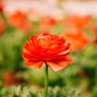 Fleur de renoncule asiatique unique rouge en fleur