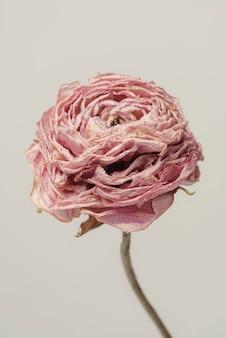 Fleur de renoncule rose séchée sur fond gris