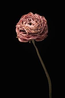 Fleur de renoncule rose séchée sur fond noir