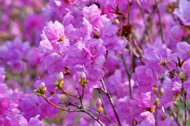 Fleur de rhododendrons roses