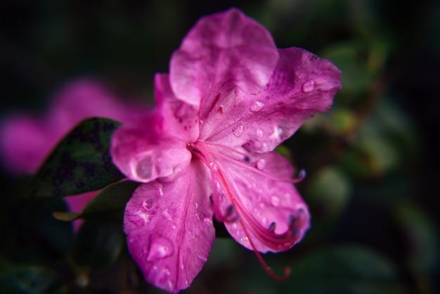 Fleur rose amande en fleurs, gros plan, arrière-plan flou. branches de rhododendrons en fleurs, sakura de l'altaï. image pour carte de voeux, mise au point sélective.