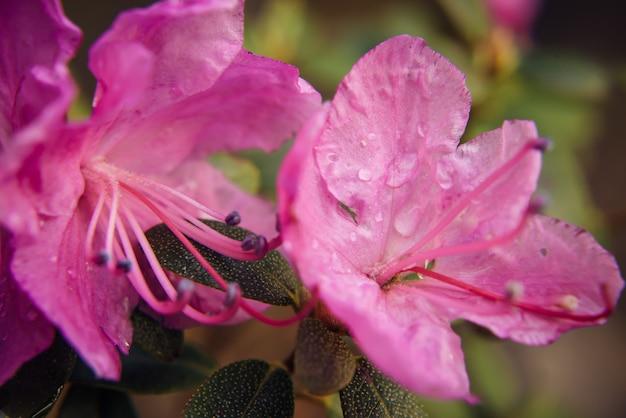 Fleur rose amande en fleurs, gros plan, arrière-plan flou