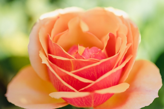 Fleur rose et blanche en macro