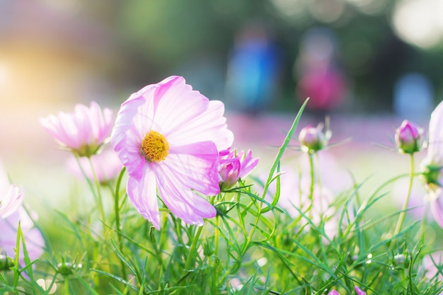 Fleur rose du cosmos avec le lever du soleil