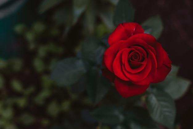 Fleur de rose fleurit dans le jardin de roses sur fond flou