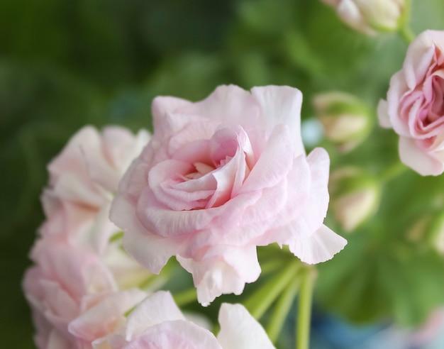 Fleur rose, fleurs d'accueil de pélargonium.