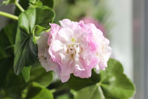 Fleur rose, fleurs de maison de pélargonium