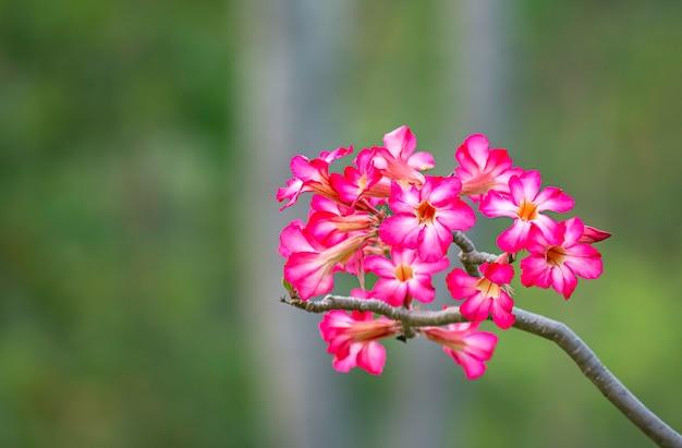 Fleur rose ou fond adenium feuilles vertes floues.