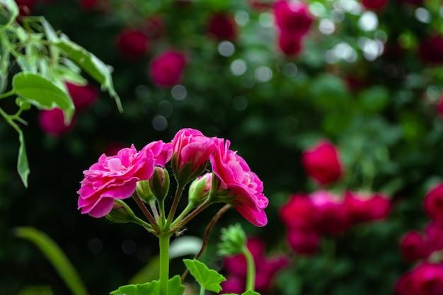 Fleur rose sur fond de buisson