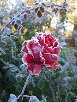 Fleur rose gel hivernal leann roses froid