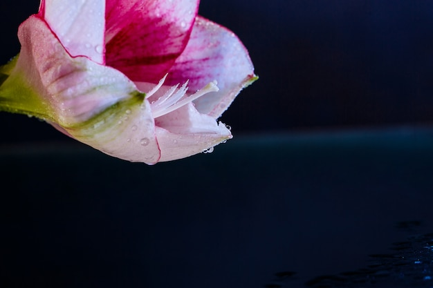 Fleur rose avec des gouttes d'eau sur fond bleu foncé.