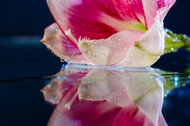 Fleur rose avec des gouttes d'eau sur un mur bleu foncé