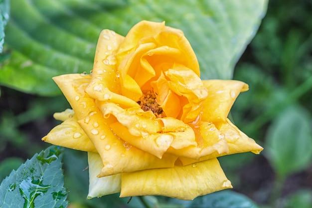 Fleur de rose jaune coloré