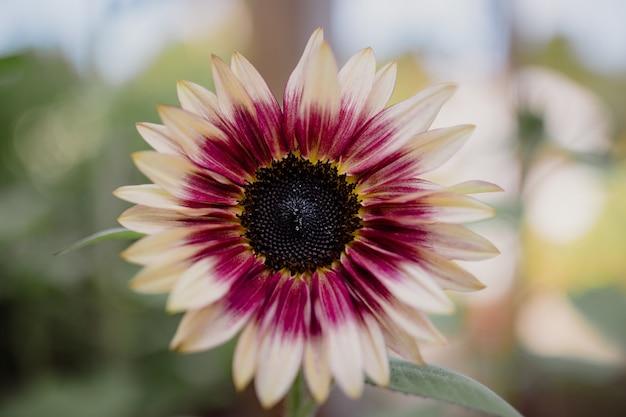 Fleur rose et jaune dans l'objectif tilt shift