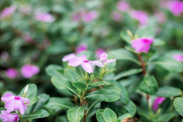 Fleur rose avec la lumière du soleil.