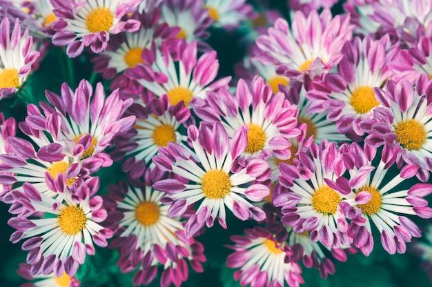 Fleur rose marguerite avec pollen jaune qui fleurit dans le jardin