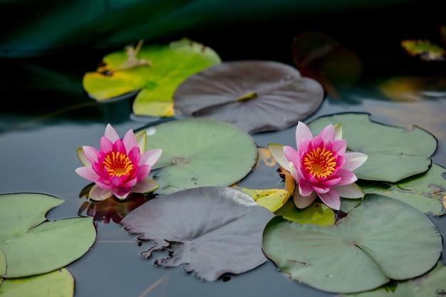 Fleur rose de nénuphars en été