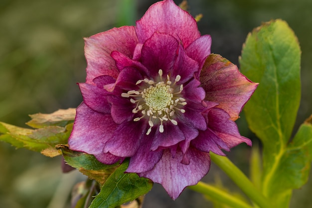 Fleur rose pourpre hellébore double ellen pink tacheté de taches sur le pétale