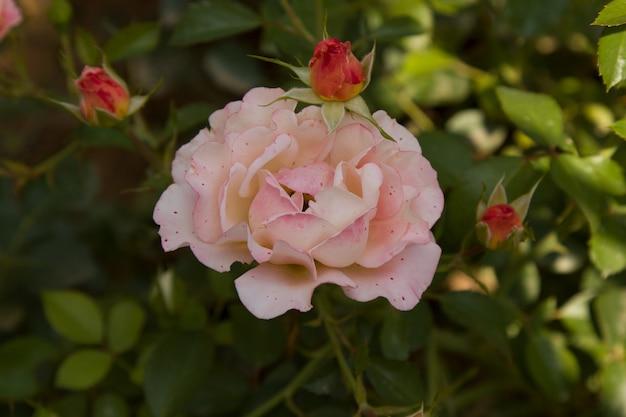 Fleur rose poussant dans le jardin. rosier en fleurs un jour d'été ensoleillé