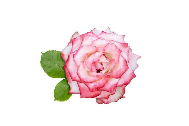 Fleur rose rose isolé sur fond blanc