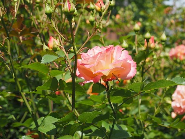 Fleur rose rose jaune
