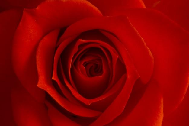 Fleur rose rose, macro