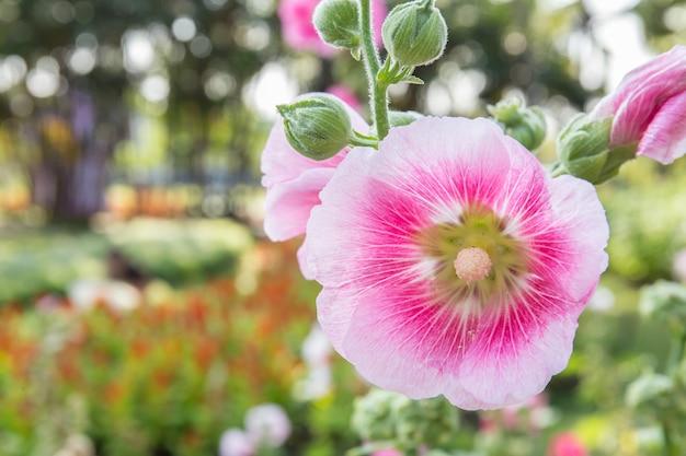 Fleur rose de rose trémière dans le parc