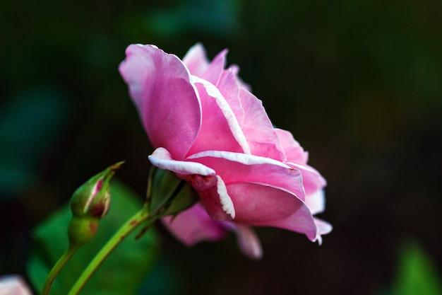 Fleur rose rose unique dans le jardin