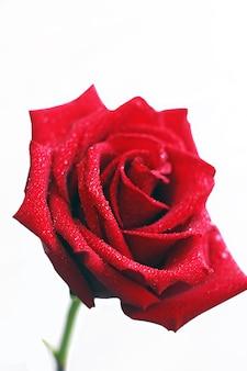 Fleur rose rouge, bourgeon ouvert isolé sur fond blanc