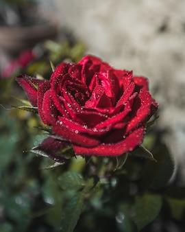 Fleur rose rouge avec des gouttes d'eau