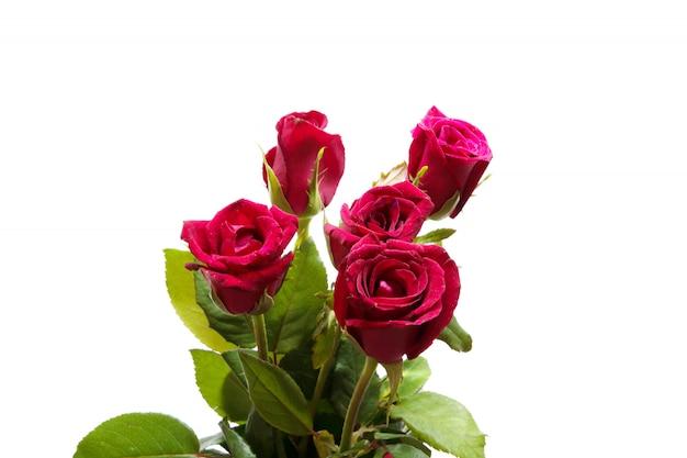 Fleur rose rouge isolé studio tourné sur blanc
