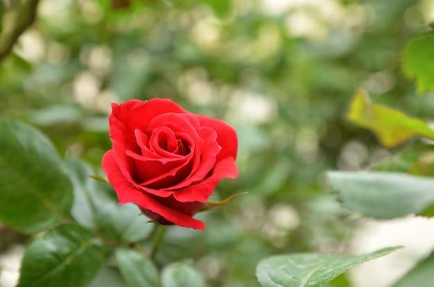 Fleur rose rouge se bouchent