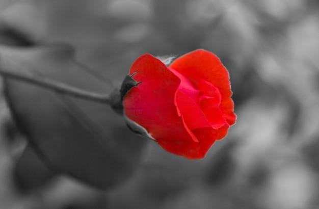 Fleur rose rouge sur la texture du papier noir et blanc. technique de photoshop