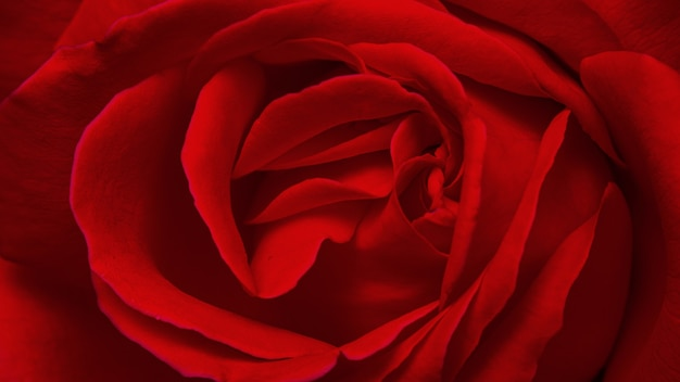Fleur rose rouge vif