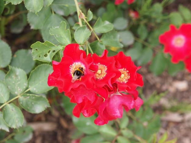 Fleur de rose sauvage