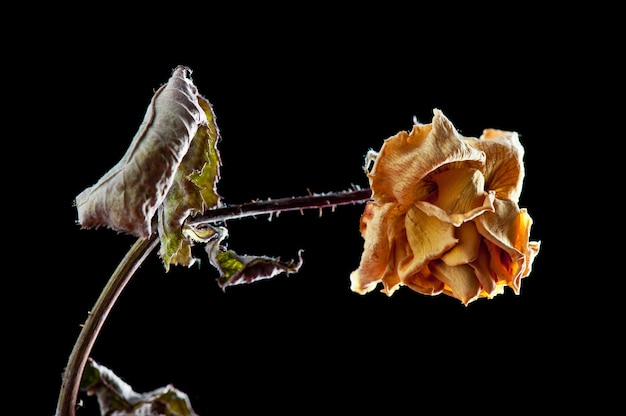 Fleur rose séchée isolée sur fond noir. roses fanées.