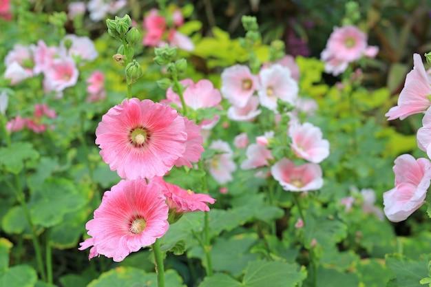 Fleur de rose trémière dans un jardin. fleur rose rouge de rose trémière libre sur fond vert flou