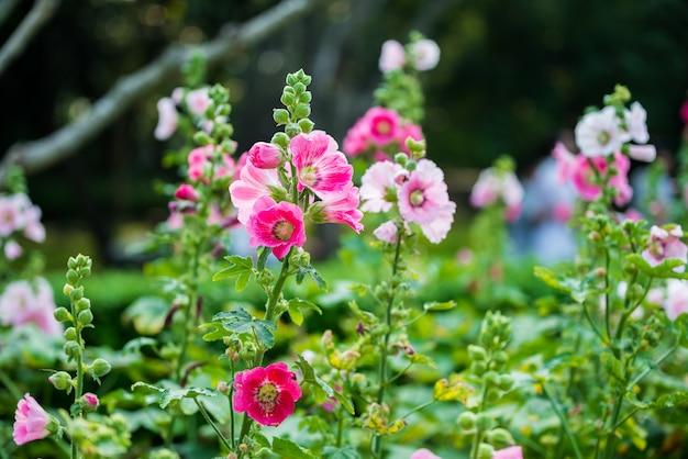 Fleur de rose trémière rose et blanche