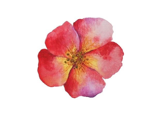 Fleur rouge aquarelle. jardin de nature de sakura de fleur de floraison de ressort. plantes de brosse dessinées à la main vintage isolées sur illustration blanche.