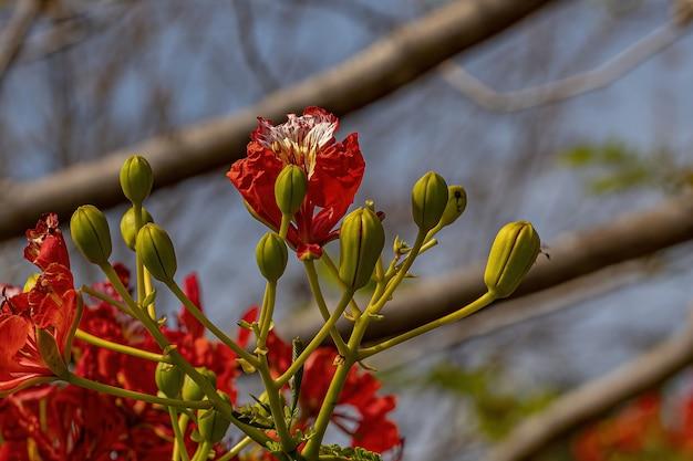 Fleur rouge de l'arbre flamboyant de l'espèce delonix regia avec mise au point sélective